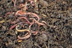 worms photographie stock libre de droits