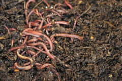 worms immagine stock