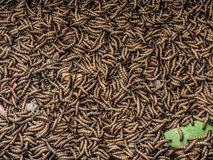Worms. Chinese worms in the animal market in Kunming Royalty Free Stock Photos