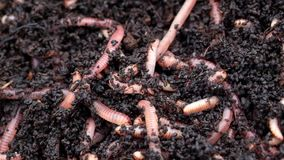 Worms in compost soil. Dendroboena worms wiggling in compost. The european night crawler worm is used for wormery composting, and is also popular as a fishing