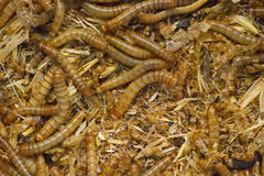 Worms in dirt Royalty Free Stock Photography