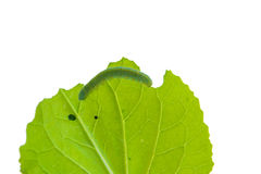 Worms eat leaves isolated. Stock Photography