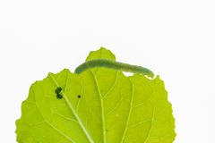 Worms eat leaves isolated. Stock Images