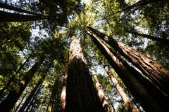 A worms-eye view of redwoods Stock Image