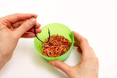 Worms for fishing bait Stock Photos