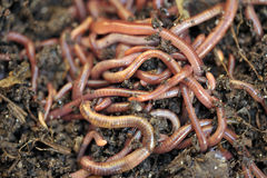 Worms Stock Photography