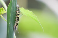 Worms, insects, worms on a  grass. Worms, insects, worms on a lotus leaf Royalty Free Stock Photo