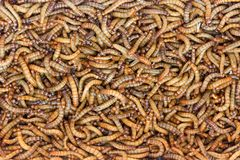 Worms, Meal worms. larvae of the beetle Tenebrio molitor.  Royalty Free Stock Photography