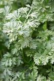Wormwood φύλλα φυτών, Artemisia άψηνθος Στοκ φωτογραφία με δικαίωμα ελεύθερης χρήσης
