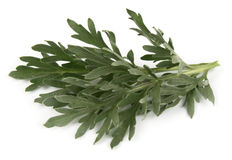 Wormwood. On a white background Royalty Free Stock Image