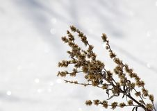 Wormwood. And snow Stock Images