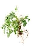 Wormwood (Artemisia άψηνθος Λ ) με τη ρίζα στο λευκό Στοκ εικόνες με δικαίωμα ελεύθερης χρήσης