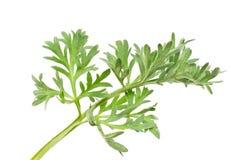 Wormwood (Artemisia άψηνθος Λ ) Στοκ εικόνα με δικαίωμα ελεύθερης χρήσης