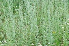 Wormwood (Artemisia άψηνθος Λ ) Στοκ φωτογραφία με δικαίωμα ελεύθερης χρήσης