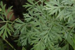 Wormwood Artemisia άψηνθος στον κήπο Στοκ Εικόνες