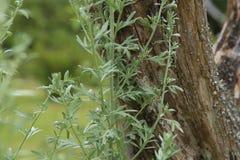 Wormwood Artemisia άψηνθος στον κήπο Στοκ φωτογραφίες με δικαίωμα ελεύθερης χρήσης