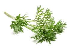 Wormwood Artemisia άψηνθος Στοκ φωτογραφία με δικαίωμα ελεύθερης χρήσης