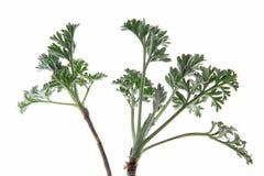 Wormwood (Artemisia άψηνθος) Στοκ Φωτογραφίες