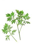 Wormwood (Artemisia άψηνθος) Στοκ Εικόνες
