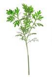 Wormwood (Artemisia άψηνθος) Στοκ Φωτογραφία