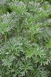 Wormwood Artemisia άψηνθος Στοκ Εικόνες