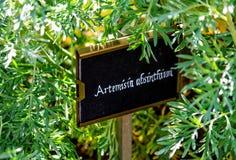 Wormwood Artemisia άψηνθος Στοκ Φωτογραφίες