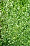 Wormwood (Artemisia absinthium L.) Stock Image