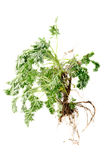 Wormwood (Artemisia absinthium L.)  with root on white Royalty Free Stock Images