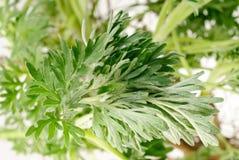 Wormwood (Artemisia absinthium L.) Royalty Free Stock Photo