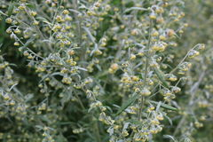Wormwood (Artemisia absinthium). Perennial herb of silvery color, with a strong aromatic odor and bitter wormwood famous Royalty Free Stock Photography