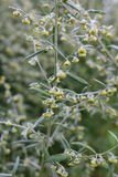 Wormwood (Artemisia absinthium). Perennial herb of silvery color, with a strong aromatic odor and bitter wormwood famous Stock Image