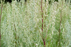 Wormwood Artemisia absinthium - perennial herb of silvery color, with a strong aromatic odor and bitter wormwood famous Royalty Free Stock Photo
