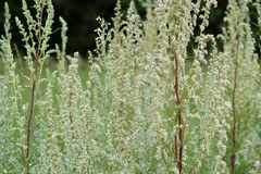 Wormwood Artemisia absinthium - perennial herb of silvery color, with a strong aromatic odor and bitter wormwood famous Stock Images