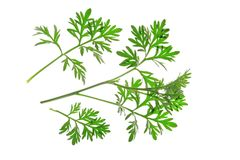 Wormwood (Artemisia absinthium) Stock Photography