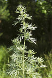 Wormwood in a forest glade Stock Photos