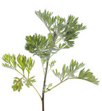 Wormwood Stock Image