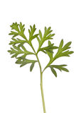 Wormwood herb. Wormwood absinthium herb therapeutic plant stock photos