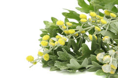 Wormwood Leaves And Flowers royalty free stock photos
