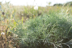 Wormwood. In meadow, natural background Royalty Free Stock Photography