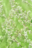 Wormwood plant. Close-up of wormwood plant royalty free stock photo