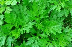 Wormwood plant. Green wormwood plant (absinth, artemisia Stock Photos