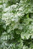Wormwood plant leaves, Artemisia absinthium Royalty Free Stock Photo