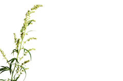 Wormwood plant Stock Photos