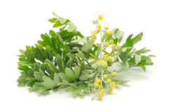 Wormwood on White Background Stock Images