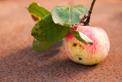 Wormy apple with leaves on the rusty sheet. Copyspace.  Stock Images