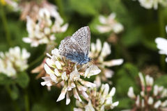 Worn Common Blue Butterfly Royalty Free Stock Image