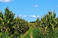 Path Through a Corn Field royalty free stock images