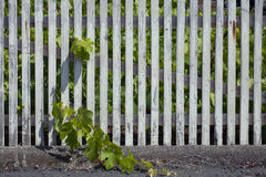 Worn wooden trellis with grape. Vigor and liveliness trapped behind the fence Stock Photography