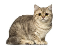 Worried British Shorthair lying and looking at the camera Royalty Free Stock Photo