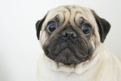 Worried canine face closeup Royalty Free Stock Photos
